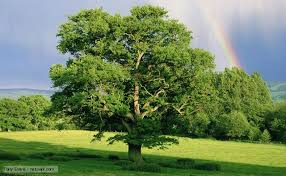 beatutiful oak tree symbolising strength